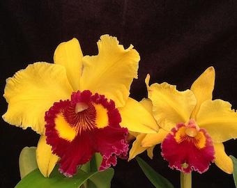 Orchid RLC Kita Karano Hana VQ Yellow w Red Lips