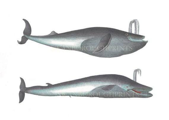 Impresión de la ballena azul. Ballena piloto. Vida de mar   Etsy