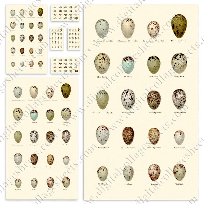 Antique EGG Study 1880's British Natural History Easter image 0