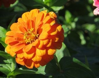 Orange Zinnia Photo, Flower Photo, Fine Art Print, Country Photography, Rural Photos