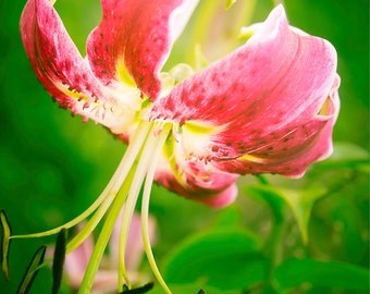 Pink and Green Flower Photography, Tiger Lily Art Print, Flora Fine Art Photography, Bright Sprint Wall Art, Bowing Tiger