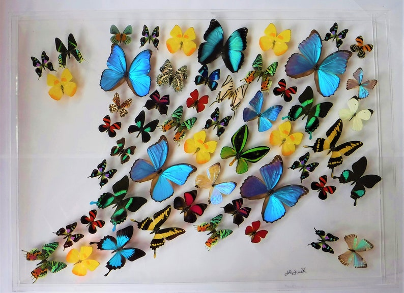 COLLECTION  unmounted butterfly pieridae Ixias pyrene pyrene CHINA A1