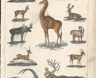 c. 1850s Chromolithographic Zoological plate - The Ungulates - Giraffe, Deers, Goats, Moose
