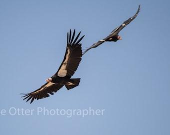 Condor Couple Photo Print