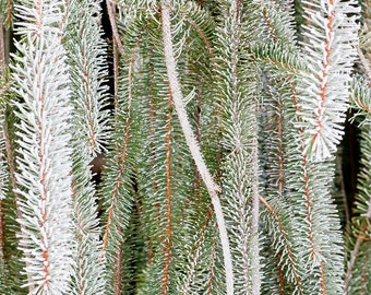 Hoar Frost on Fir Art - UW Arboretum, Madison, Wisconsin Color Photograph 1