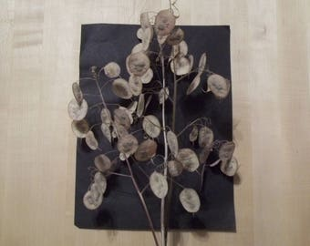 """Five dried Lunaria Stems with """"Silver Dollar"""" Seed Pods, 10""""-14"""" long, for crafts and arrangements, New 2018 Crop!"""