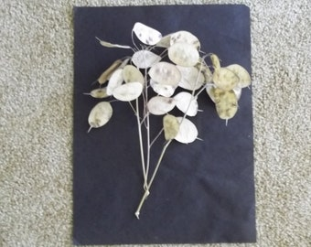 """Five dried Lunaria Stems with """"Silver Dollar"""" Seed Pods, 6""""-10"""" long, for crafts and arrangements, New 2018 Crop!"""
