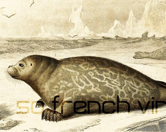 1861 Seals, Antique Engraving, Oceanlife, Antique lithograph, Arctic wildlife, Victorian Wall Art, Seal Lithograph, Phocea vitulina