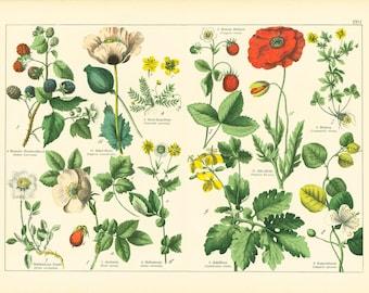 Antique Print Welsh Poppy Flowering Plants Fumitory family Poppy Print 1914 Original botanical Antique Lithograph set of 2 Corn Poppy