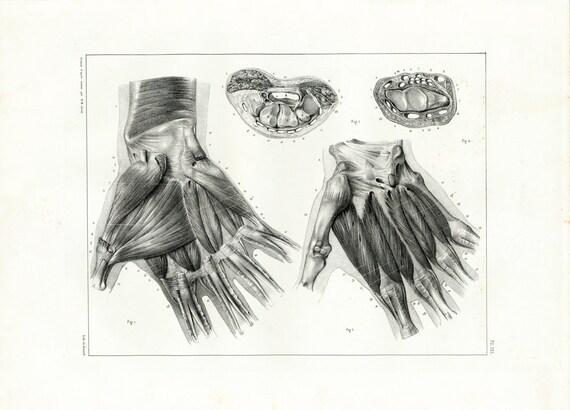 1831 die Hand Muskeln anatomische Zeichnung großes Format | Etsy