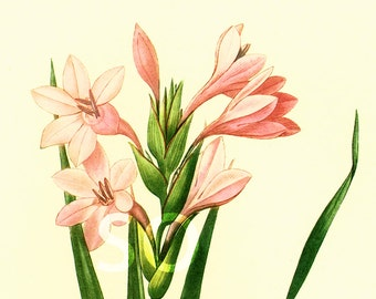 Pink Gladiolus Large Size by Pierre Joseph Redoute Botanical French Vintage Print Wall Art To Frame home decor