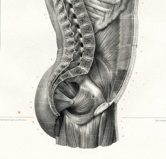 1831 Design Brust Stamm menschlichen Muskeln Spalte vertebrale | Etsy