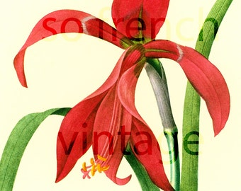 Amaryllis Large Size Redoute Flower For Framing Wall Art  home decor