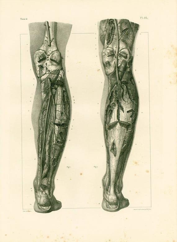 1836 Venous System Leg Anatomy Lower Limb Illustration Etsy