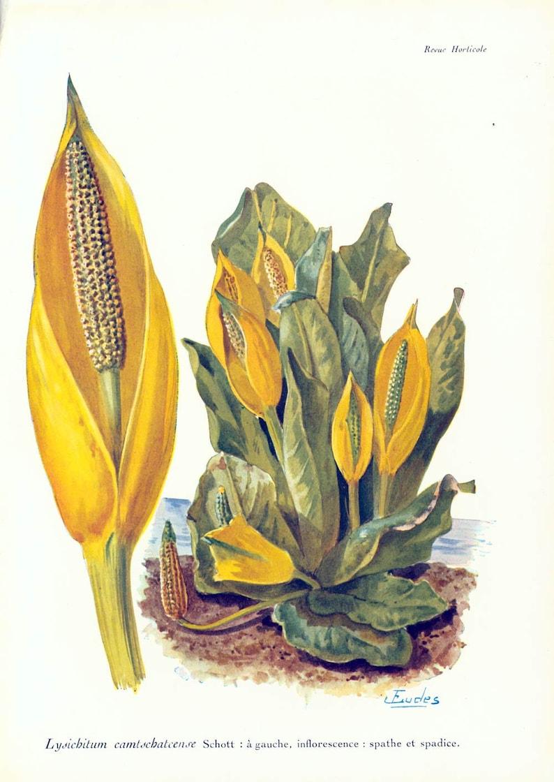 1911 Original Arum lilies print Poisonous Plant Antique image 0