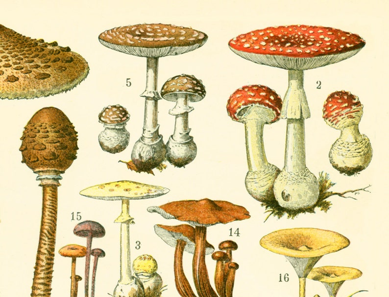 1897 Mushroom Antique Print Larousse Large Size 115 Years Old Rustic Botanical Wall Art