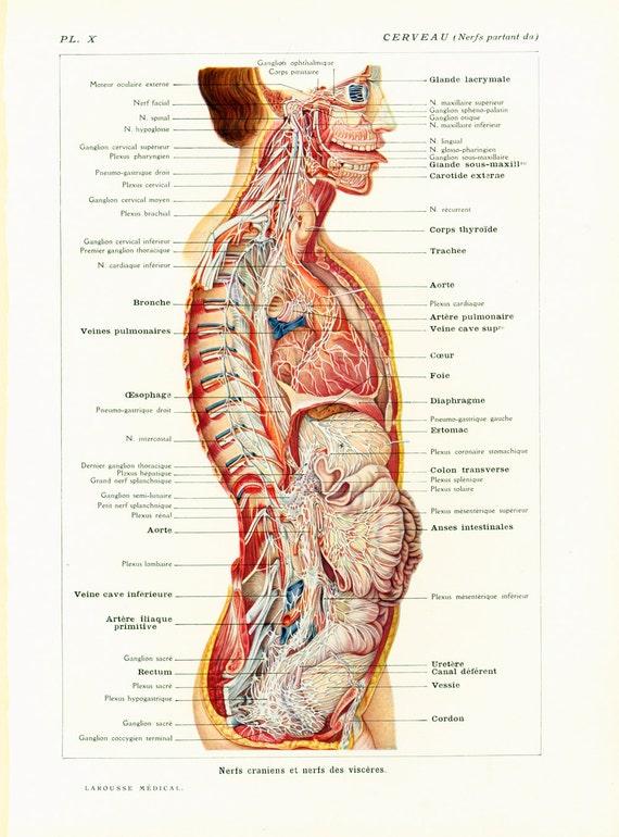 Gehirn Nerven Anatomie Dekoration feste medizinische   Etsy
