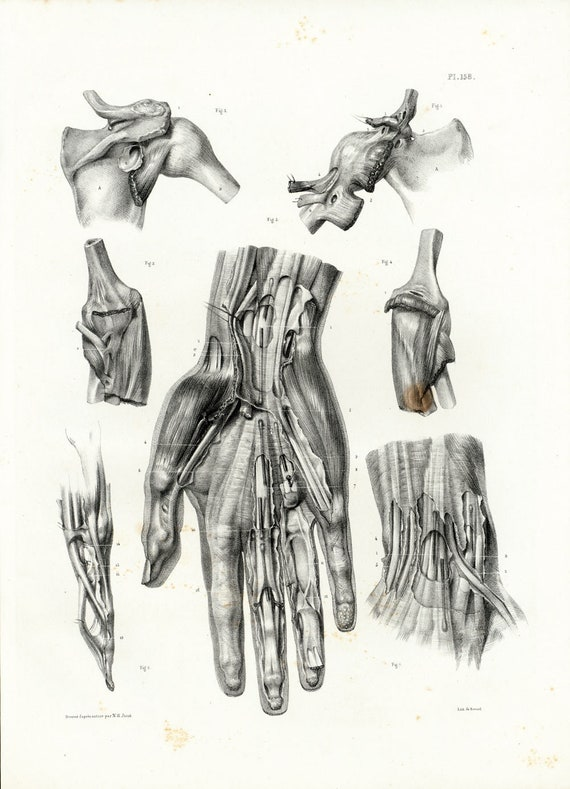 1831 Anatomy Fingers Palm Hand Muscles Tendons Hand Print Etsy