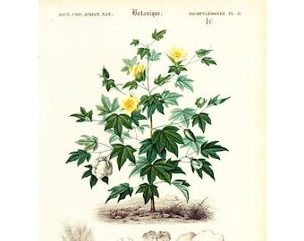 1861 Cotton plant by Ch. Orbigny Original Antique botanical Print Garden Flowers floral decor bouquet gift framing antique wall art