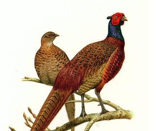 1961 Vintage pheasant Print, Gamebird, Vintage Bird illustration, Bird wall art