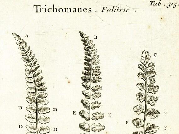 hoja de helecho de 1797. Grabado original. Elementos botánicos | Etsy