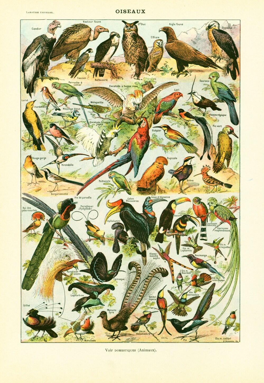 1930 Oiseaux Planche d identification Illustration Originale   Etsy 68858d4f712