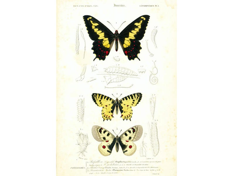 1861 Swallowtail Parnassius Apollo butterfly Antique Print image 0