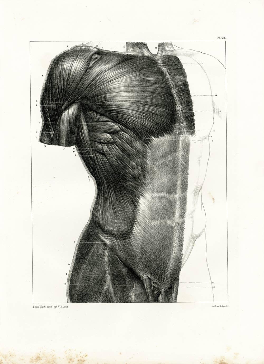 1831 an Bord anatomische Muskeln des Rumpfes. Pectoralis   Etsy