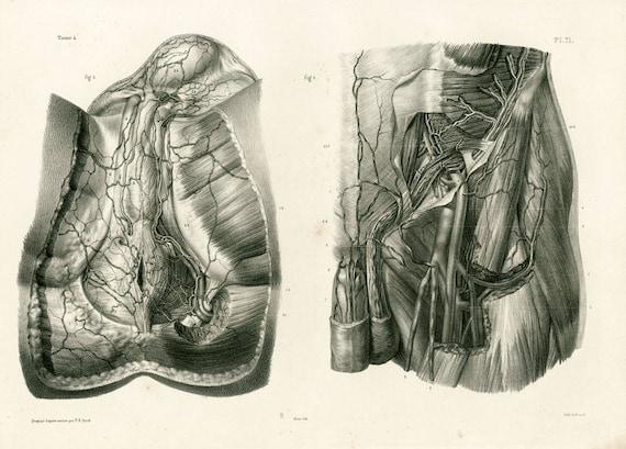 1836-Leiste und Damm-Muskeln der Blutgefäße. Anatomische Board   Etsy
