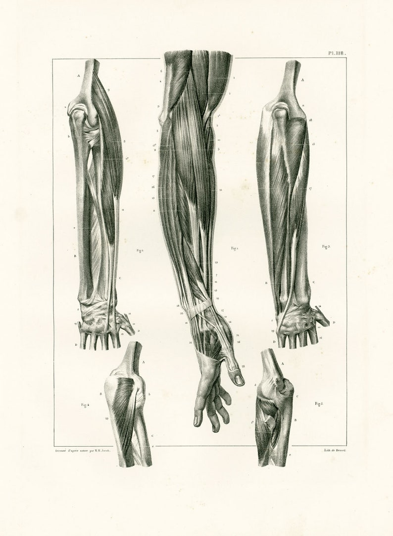 1831 Hand Anatomy Fingers Muscles Nerves Forearm Print Etsy