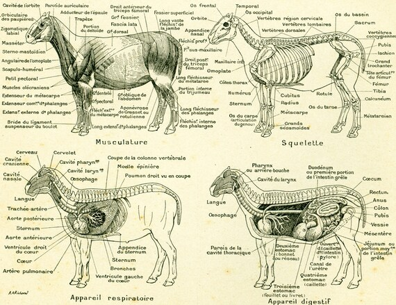 1922 Antique Sheep Anatomy Vintage Veterinary print Domestic | Etsy