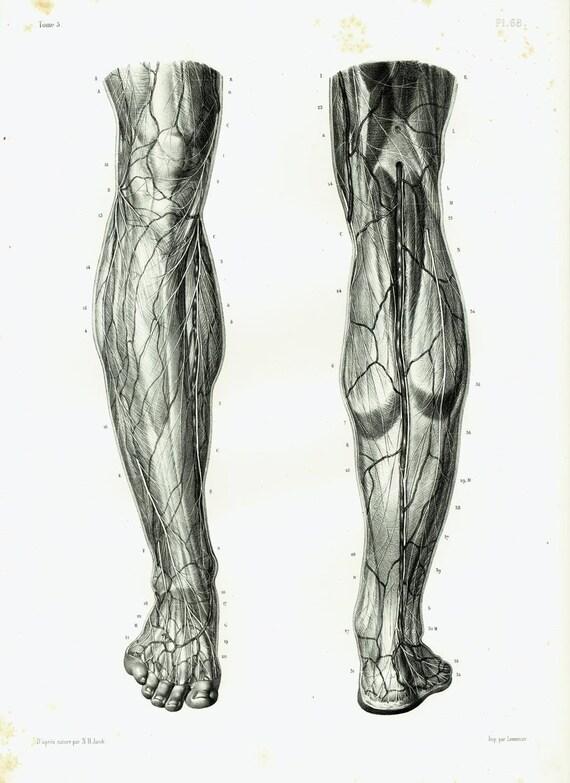 1844 Muskeln Nerven aus dem Oberschenkel Knie Bein und Fuß | Etsy