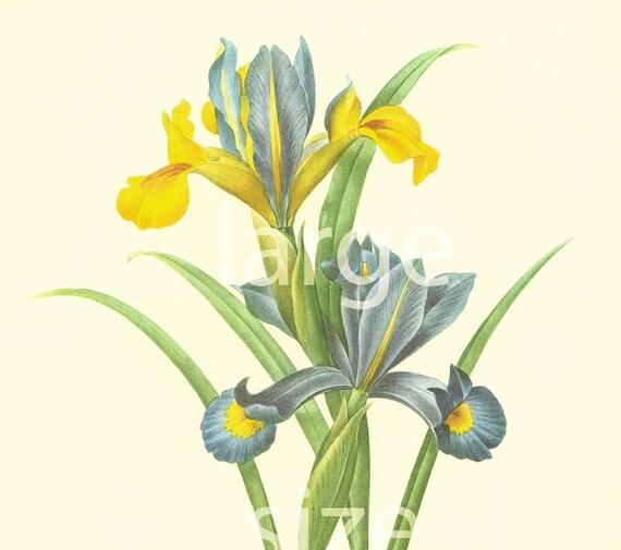 83 Vintage Art Print//Poster Botanical Herb Medicinal Plants Iris Orris Root