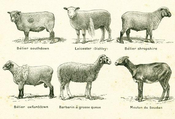 1922 Antique Sheep Breeds, Vintage Farm Animals, Domestic Animal Print,  Original Larousse illustration