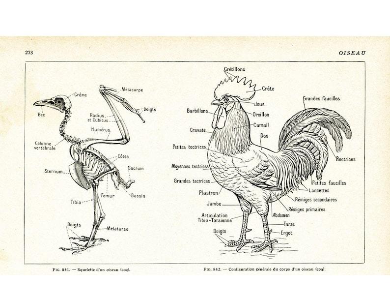 Anatomie Poule 1922 anatomie squelette poule coq oiseau. planche illustrée | etsy