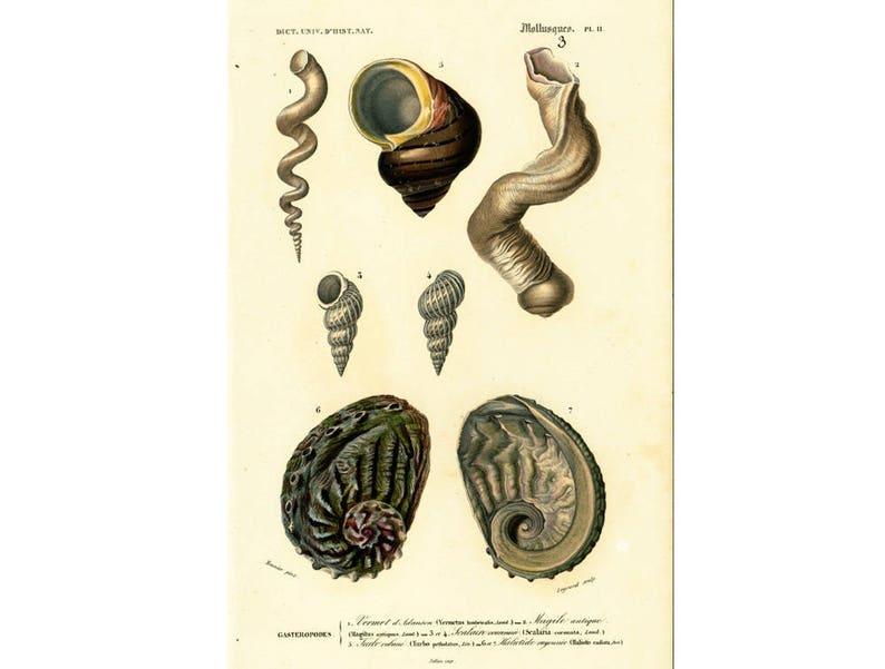 Lithography 19th Natural History Shells Shell Fruits Sea Antiques