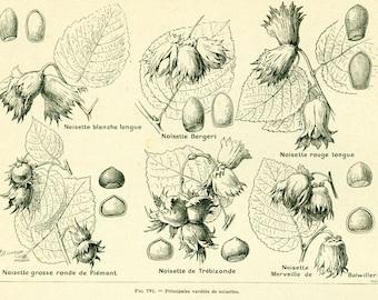 1922 Antique Hazelnut print, Vintage Botanical print, Larousse illustration