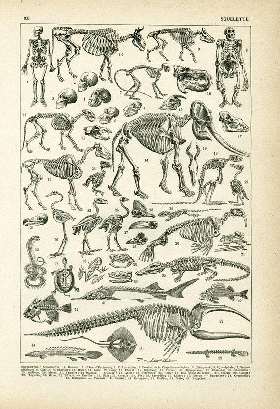1930 Anatomie Tiere Elefant Fische Reptilien Larousse | Etsy