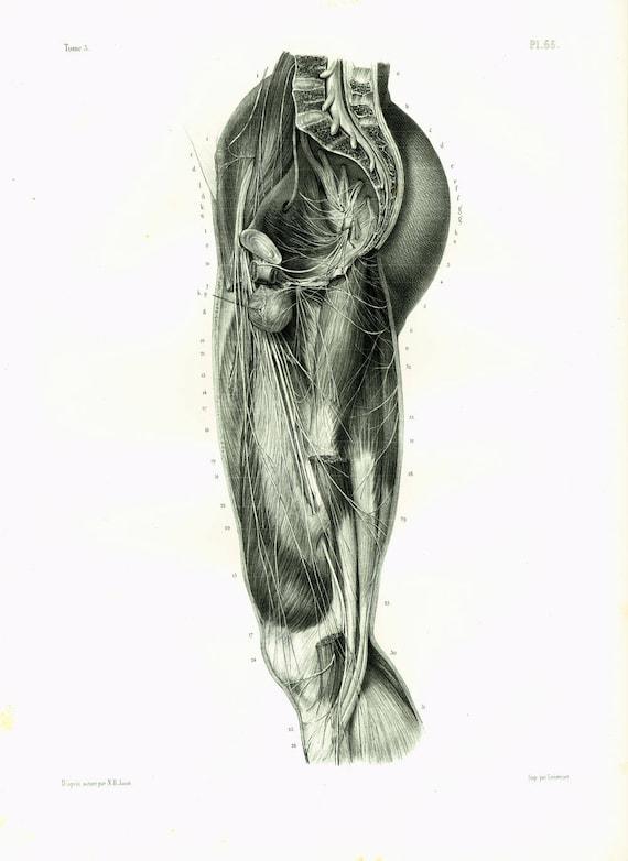 1844 Nerven Muskeln Bein Mann Erwachsenen zeichnen anatomische | Etsy