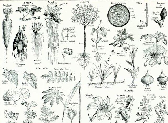 1933 Antique Plant Anatomy Print. Leaf Fruit Roots Flower. | Etsy