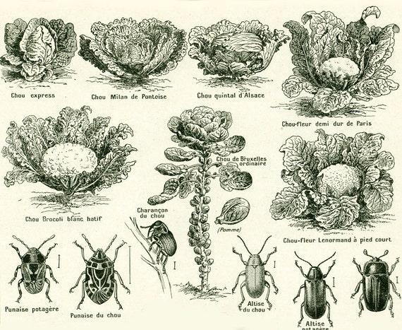 1922 Alte Sorte Von Kohl Krankheiten Weisser Schmetterling Etsy