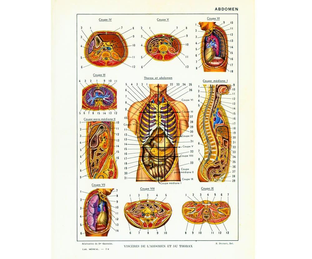 1952 Körper Anatomie Torso Eingeweide abdominal Bord original