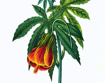 1967 Abutilon Flower Print Bouquet Botanical Print Flower For Framing Wall Art  home decor