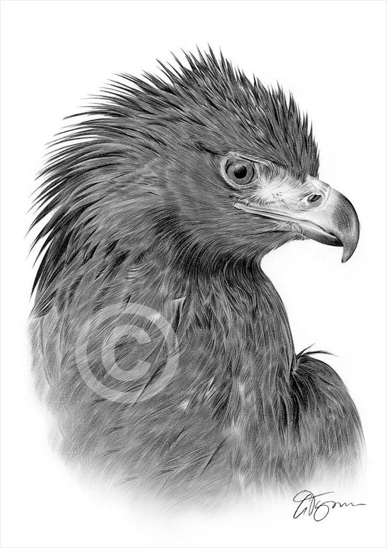 Golden eagle artwork bird pencil drawing print artwork signed by artist gary tymon ltd ed 50 prints only 2 sizes bird portrait