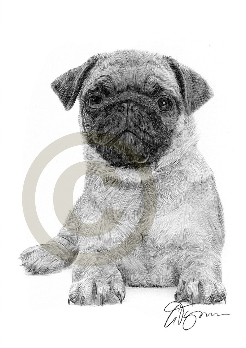 Pug Puppy - pencil drawing print - artwork signed by artist Gary Tymon - A4  size - Ltd Ed 50 prints only - pencil portrait- toy dog