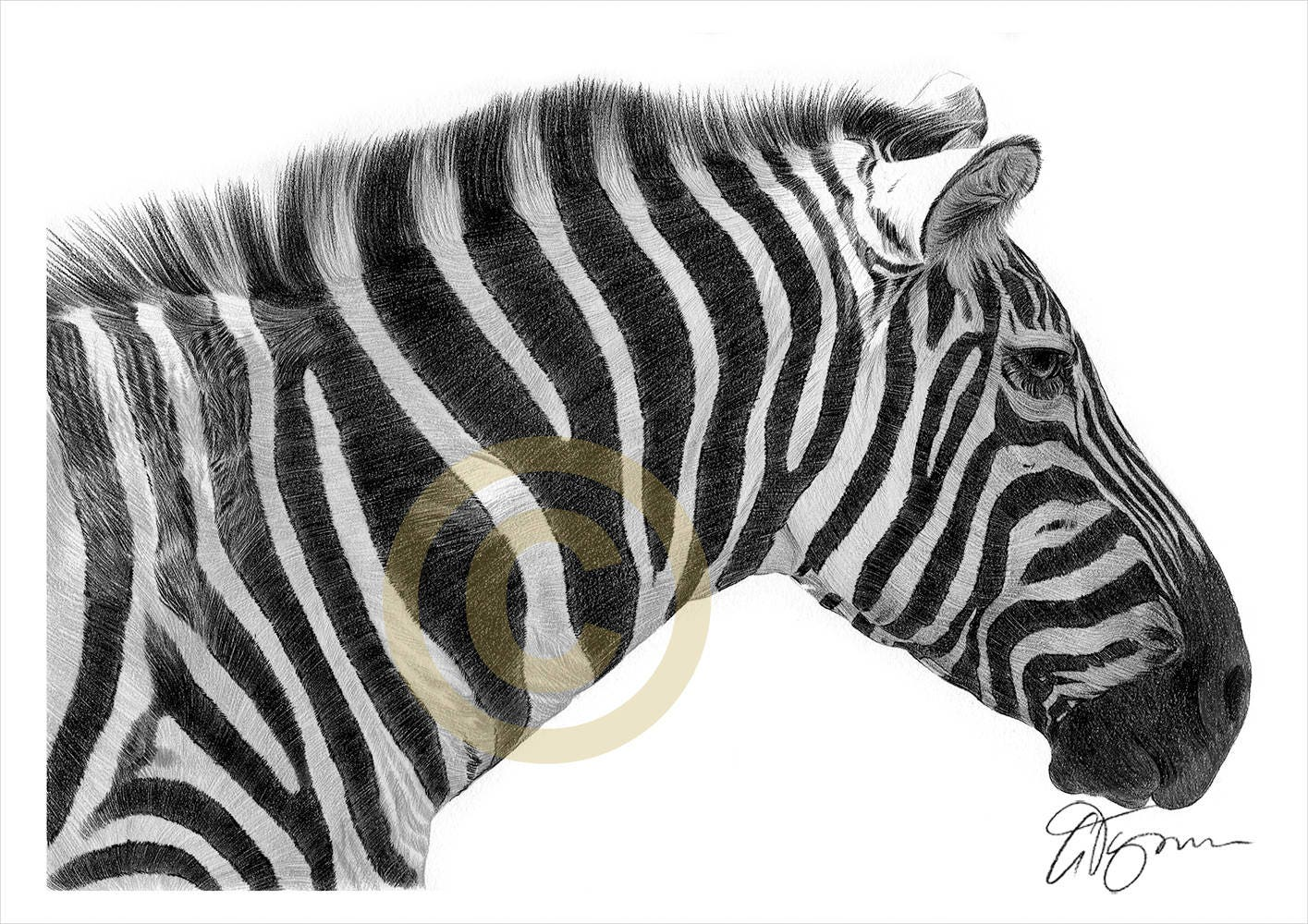 Zebra pencil drawing print african art artwork signed by artist gary tymon ltd ed 50 prints only 2 sizes wildlife animal portrait
