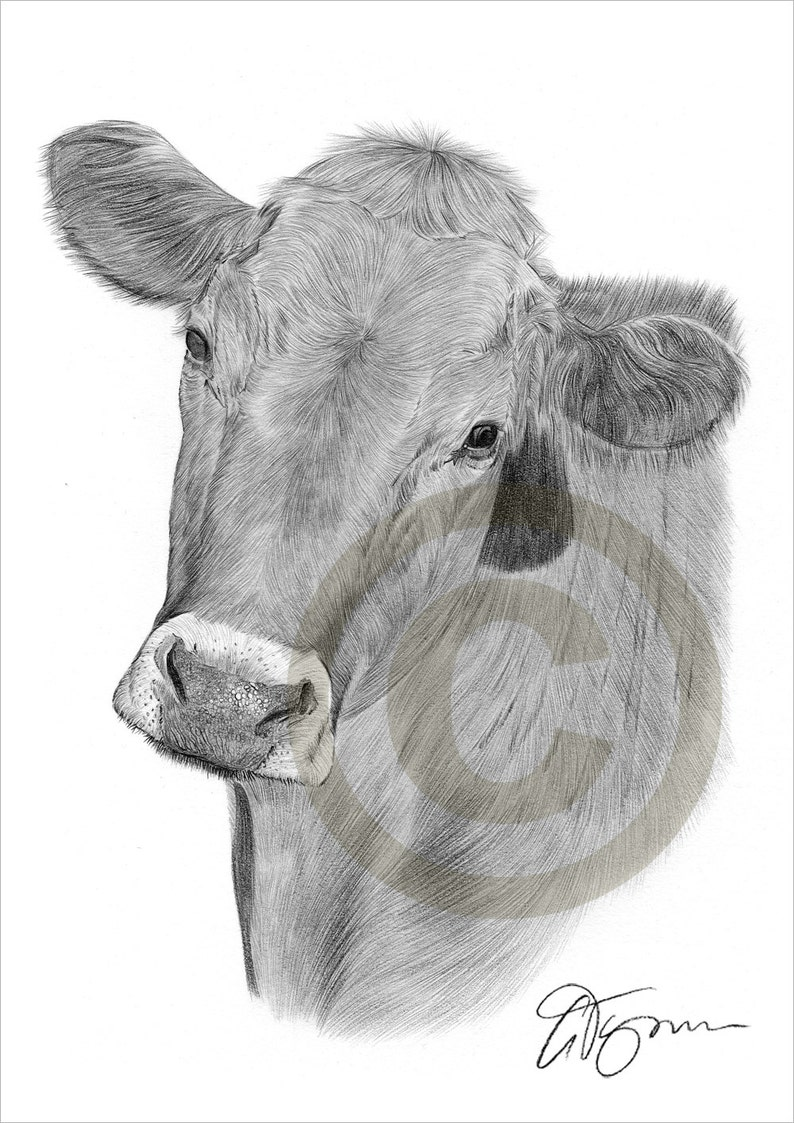 Cow pencil drawing print animal art artwork signed by artist gary tymon ltd ed 50 prints only 2 sizes watercolour pencil portrait