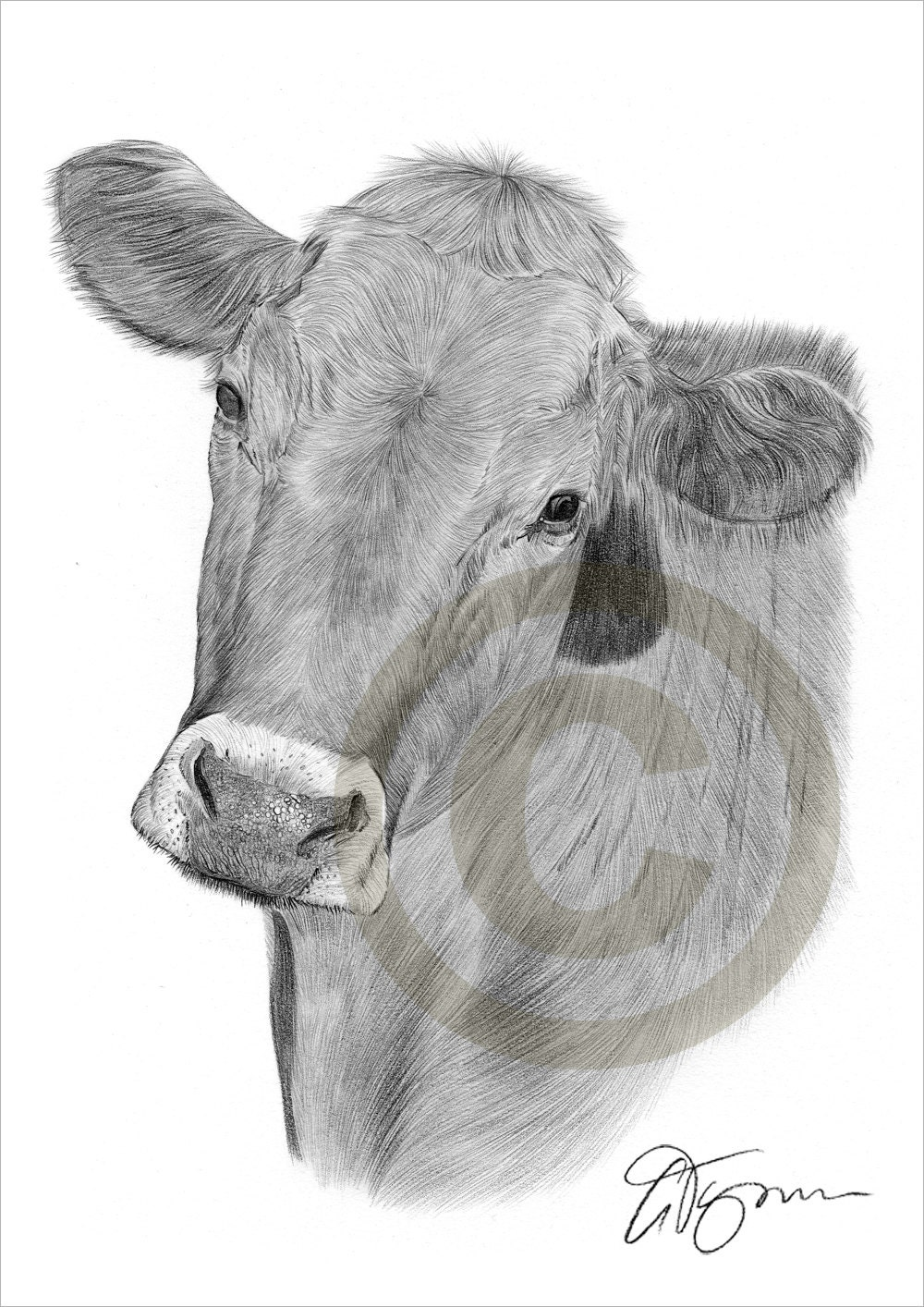 Cow pencil drawing print - animal art - artwork signed by artist Gary Tymon  - Ltd Ed 50 prints only - 2 sizes - watercolour pencil portrait