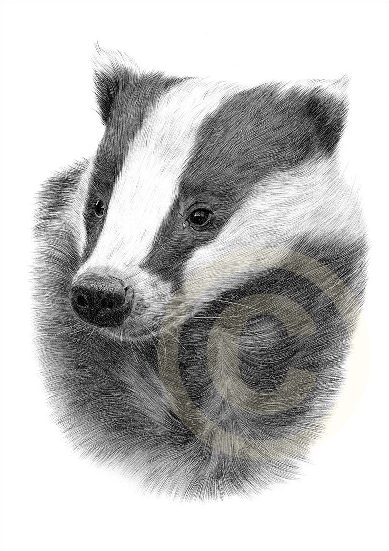 European Badger pencil drawing print  2 sizes  artwork image 0