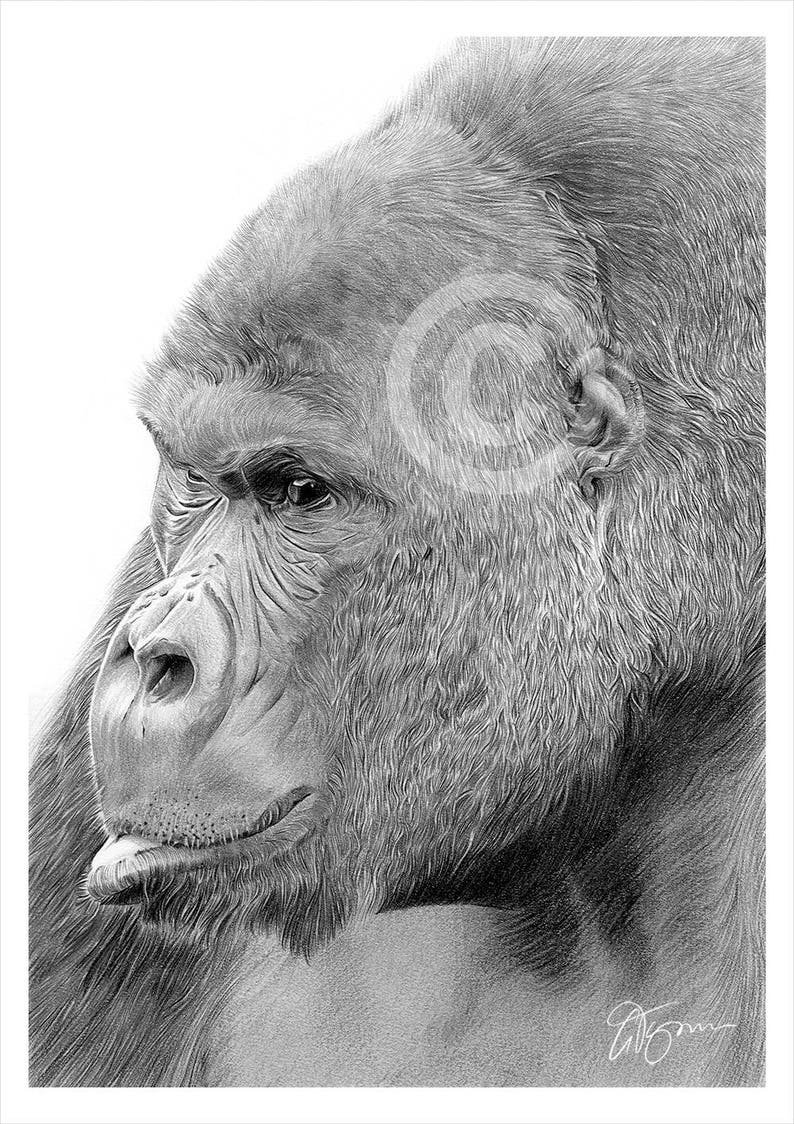 Mountain gorilla pencil drawing print animal art artwork signed by artist gary tymon ltd ed 50 prints only 2 sizes wildlife art